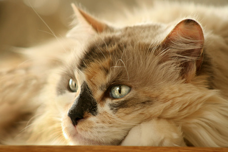 Long-Haired Calico Cat Face
