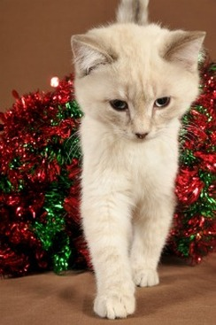 Many of the scents of Christmas can be toxic to cats