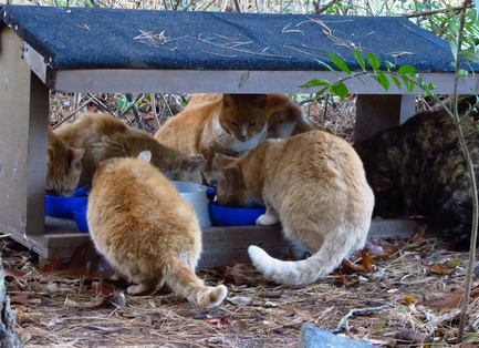 Feral cats eating